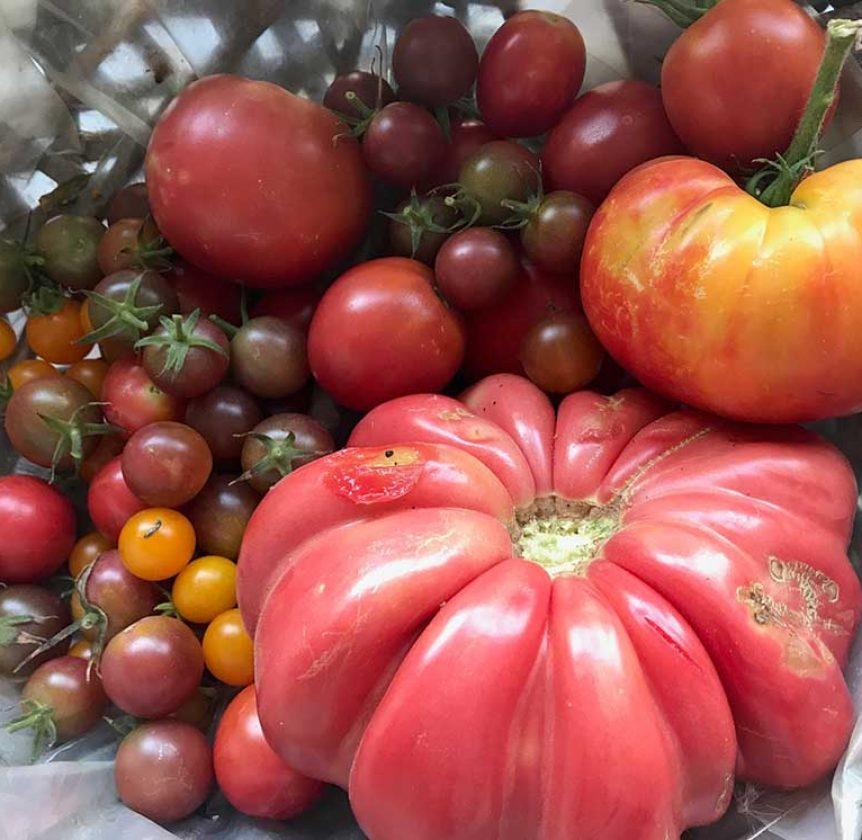 Récolte Tomates