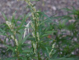 La plante «ostracisée» qui guérit le paludisme : l'ARTEMISIA