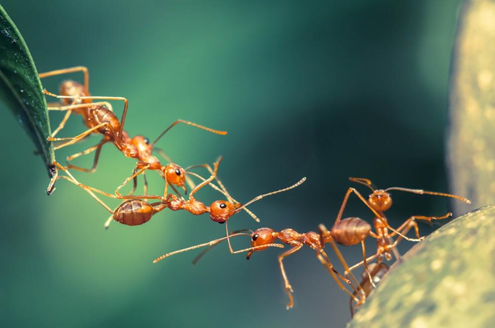 Les phtalates s'attaquent aux fourmis équatoriales